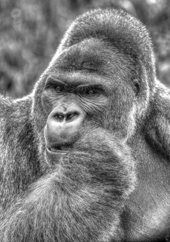 Gorilla HDR